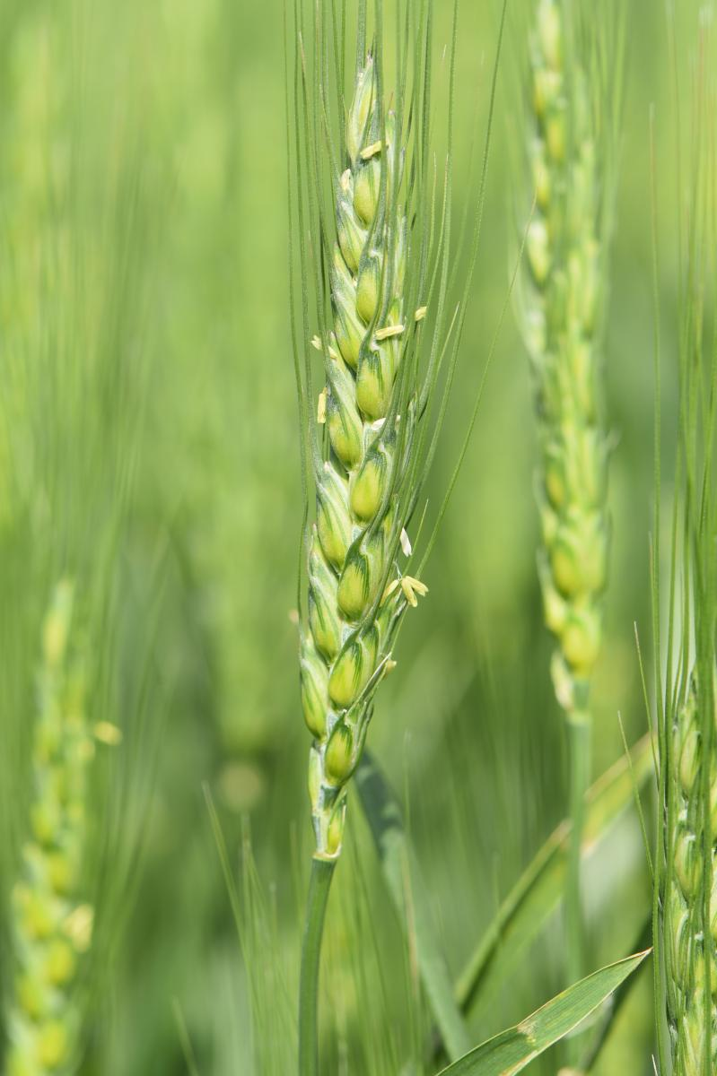 Flowering head of wheat