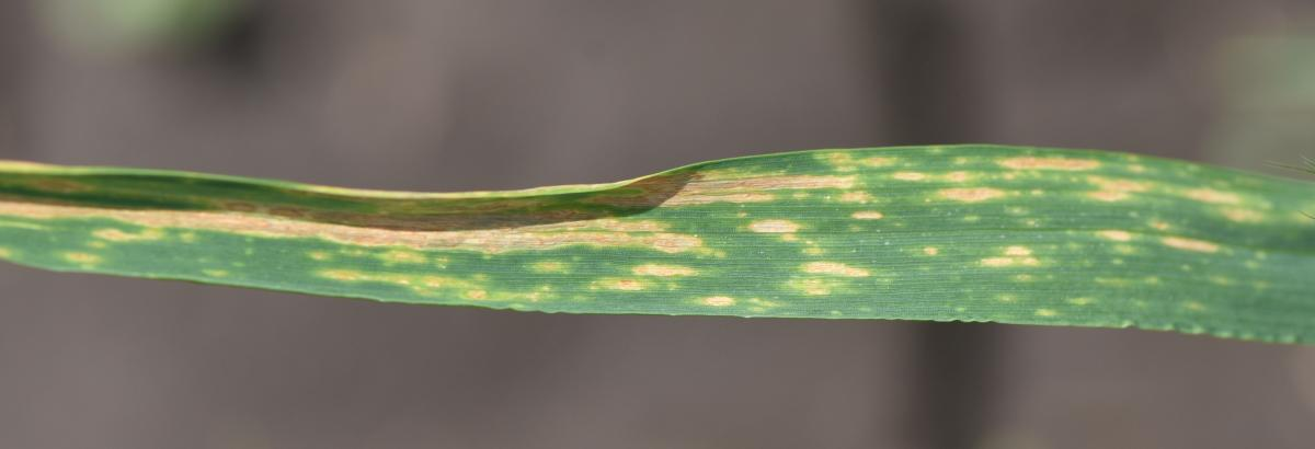 Fungal leaf spots on a flag leaf of wheat near Lincoln May 23.
