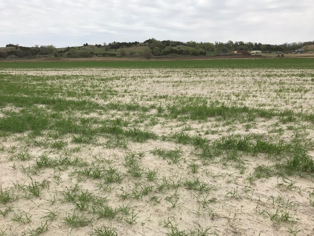 Figure 2. Sediment and sand deposit along the Cedar River in Nance County, significantly affecting the quality and stand of wheat. (Photo by Megan Taylor)