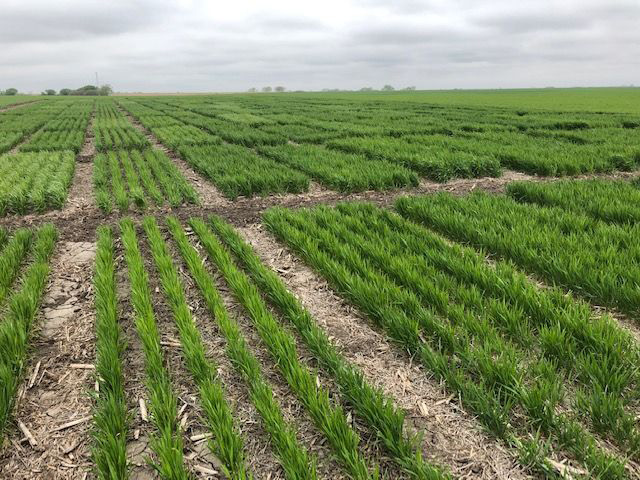 Jefferson County Wheat Variety Trial 2019
