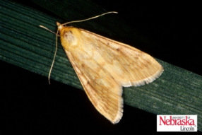 European Corn Borer moth
