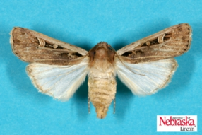 Western bean cutworm moth
