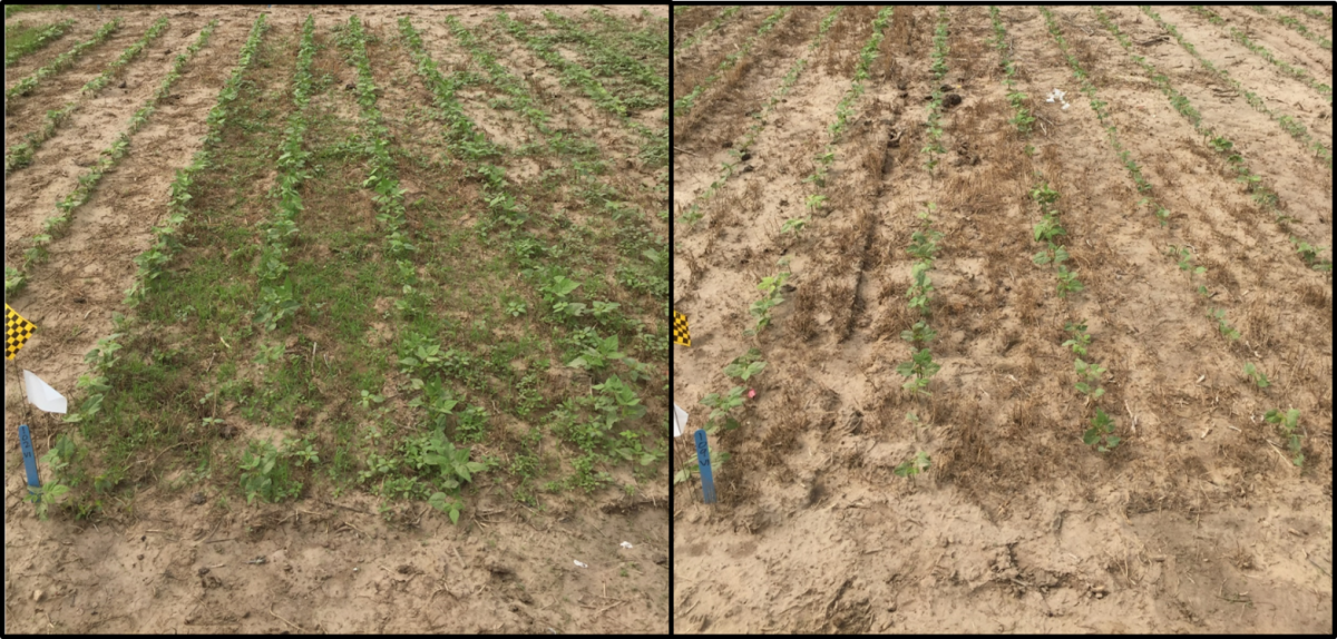 Photo comparison of trials studying the effect of weed control timing on yield of dry bean.