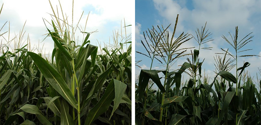 Comparison of older and new corn hybrids