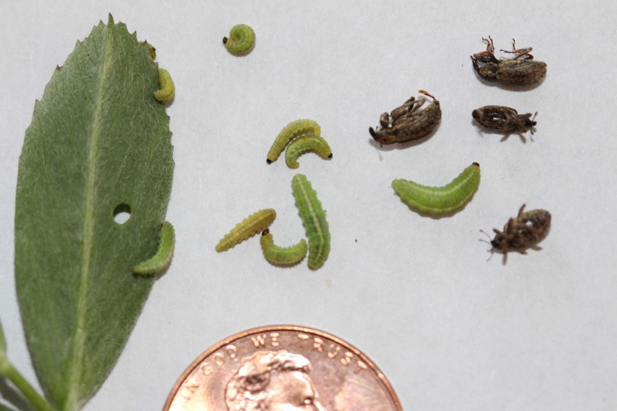 Adult and small- to medium-sized larvae of the alfalfa weevil