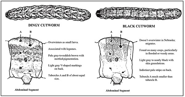 Identification characteristics for dingy cutworm and black cutworm larvae