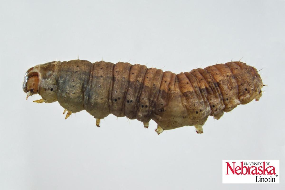 Dingy cutworm larva