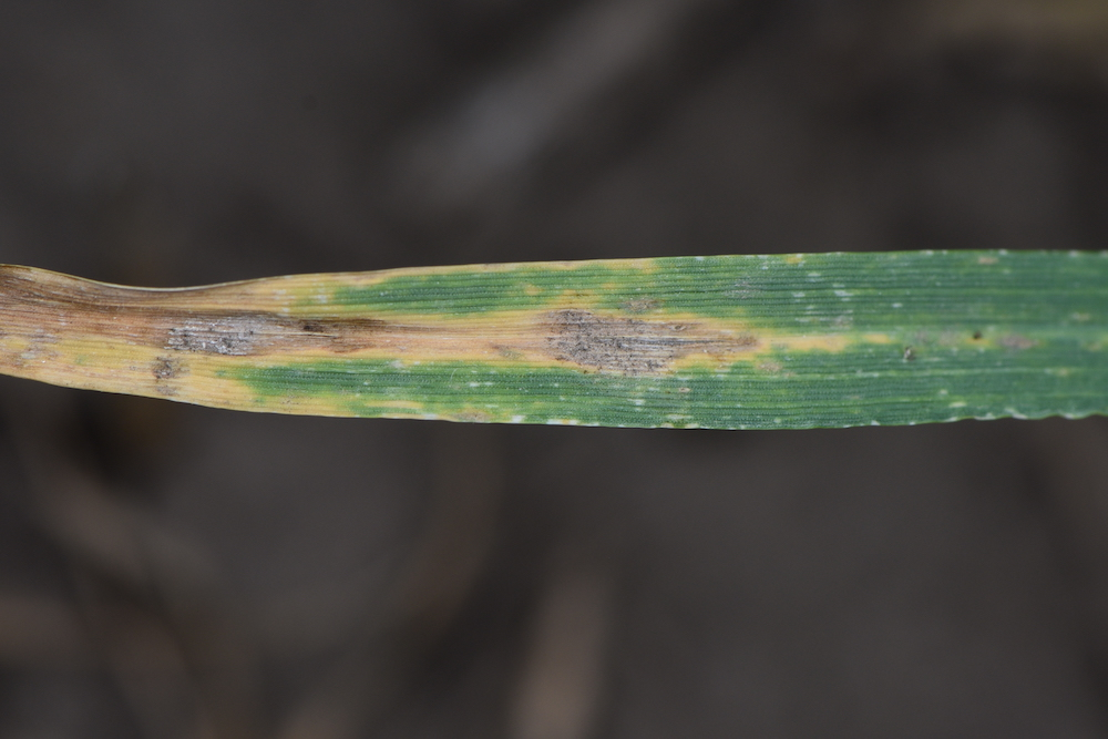 Septoria tritici blotch