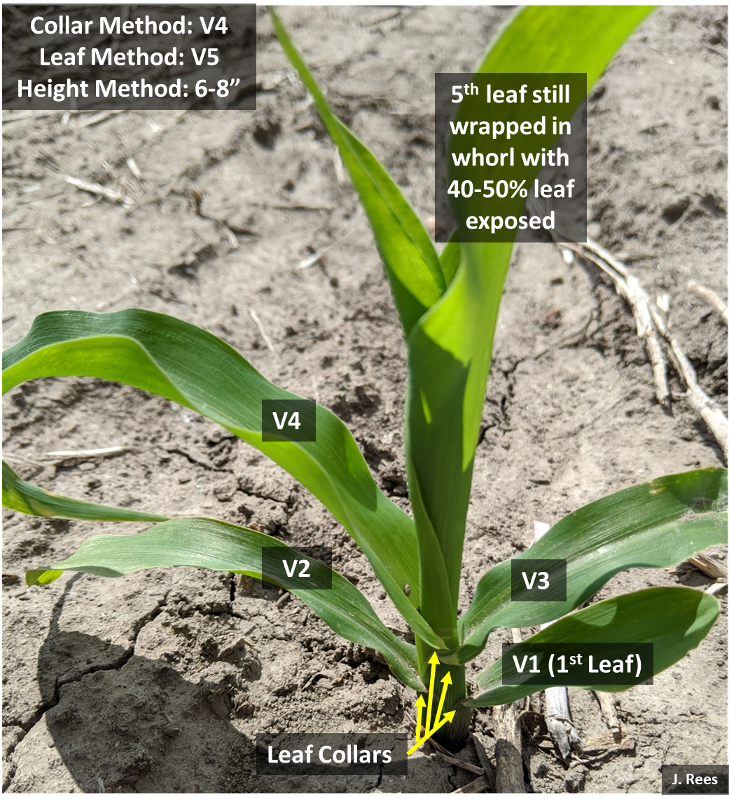 Corn plant showing different growth stages
