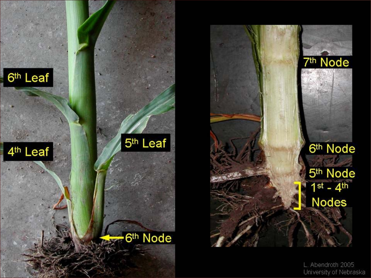 Staging corn plants by splitting stalks