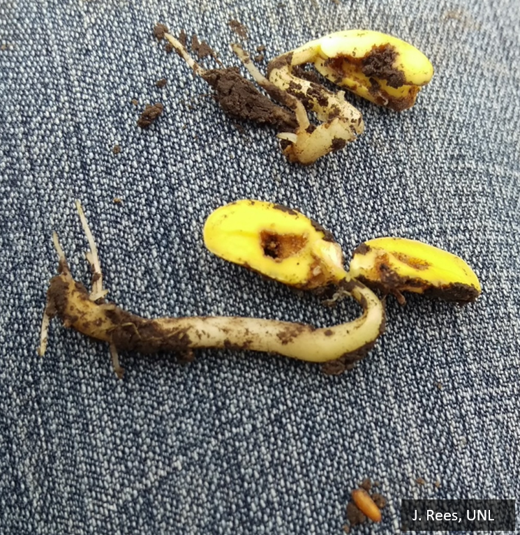 Seed Corn Maggot Injury