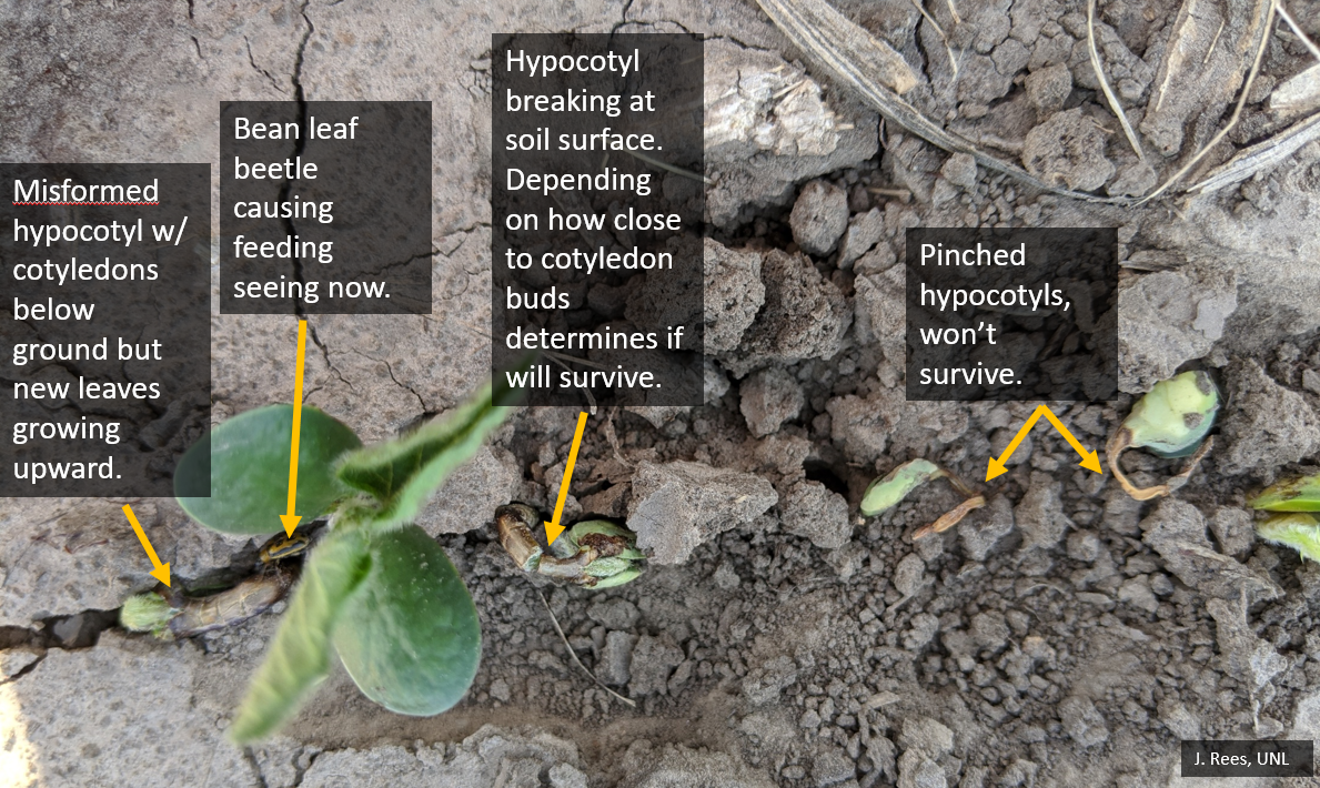 soybean damage examples
