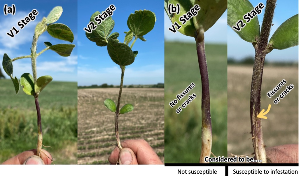 Soybean plants at V1 and V2 stage