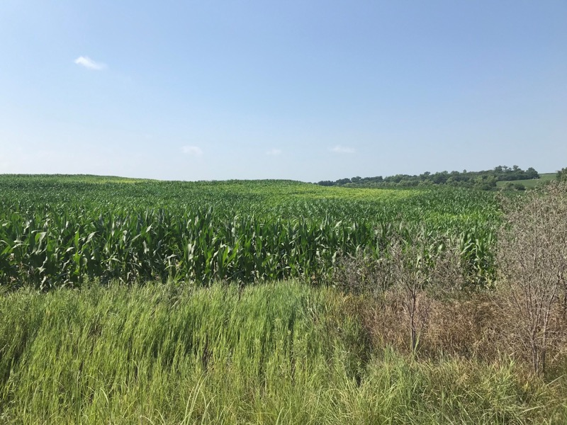 Nitrogen deficient corn in Nemaha County