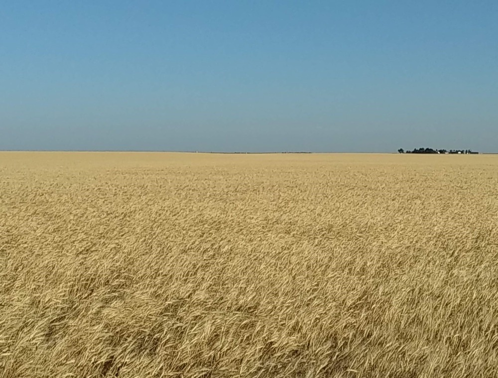 wheat field in Cheyenne County