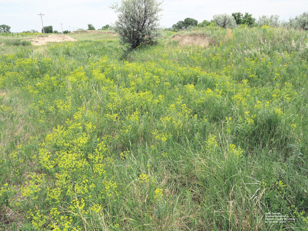 Leafy spurge patch