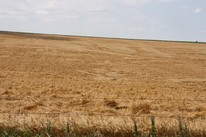 wheat field damaged by wind