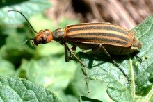 Three-stripped Blister beetle