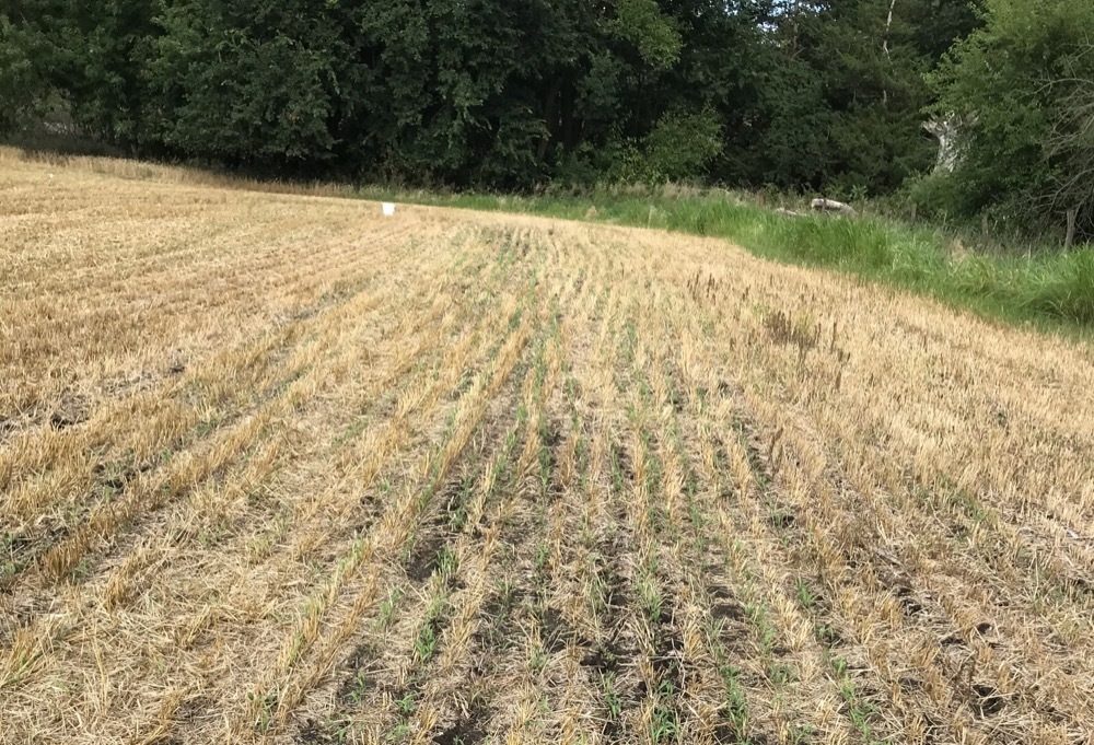 cover crops emerging in wheat stubble