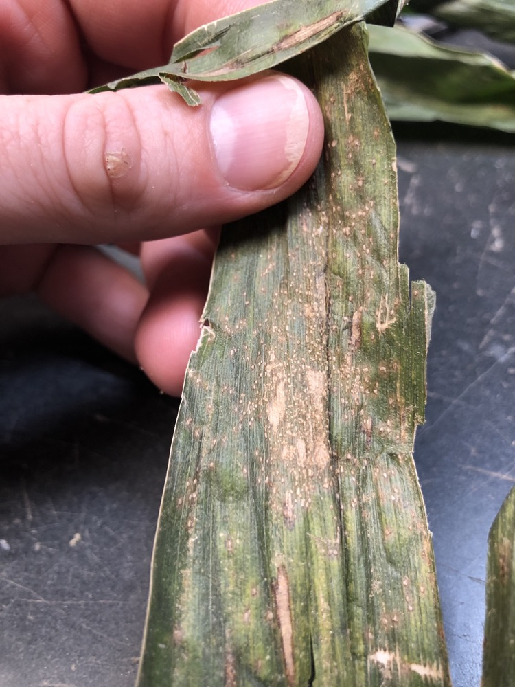 Southern Rust on top of Gray Leaf Spot Lesions on a sample from Lancaster County