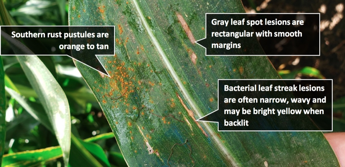 3 corn diseases on one leaf