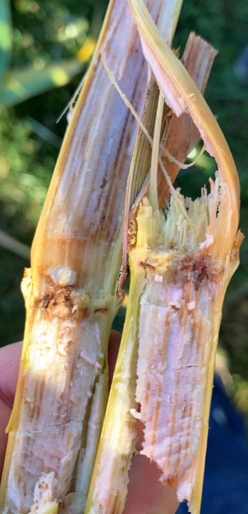 Fusarium stalk rot