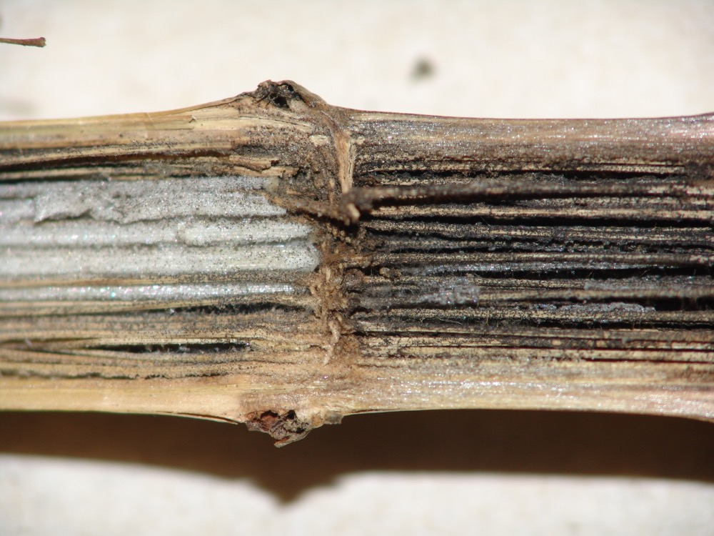 stalks with charcoal rot