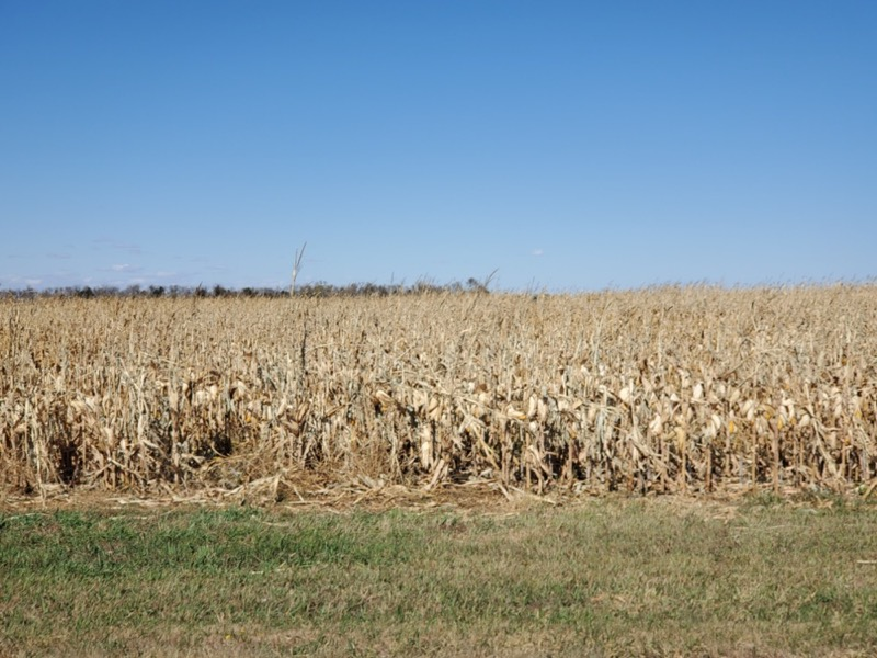 corn field showing wind damage