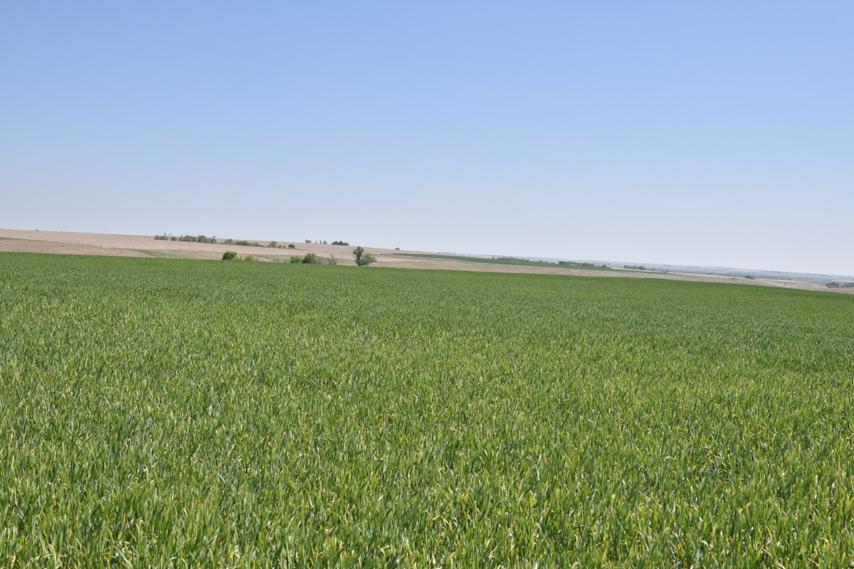 wheat field with a high incidence of barley yellow dwarf