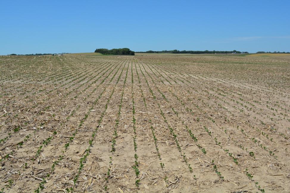 Soybean field in Greeley County.