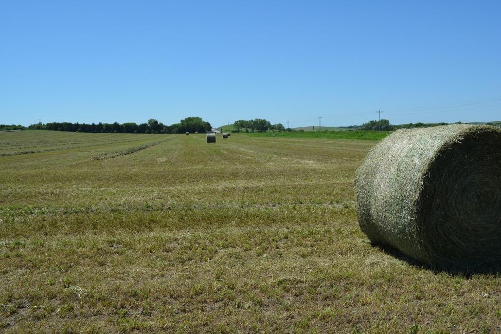alfalfa field in Custer county