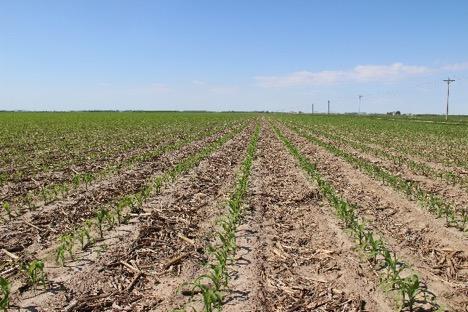 field corn in Adams county