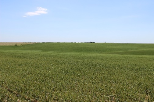 wheat in Webster County