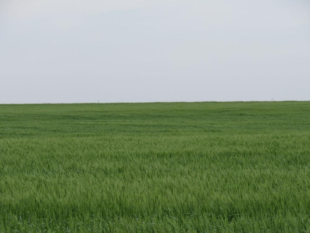 wheat in Cheyenne county