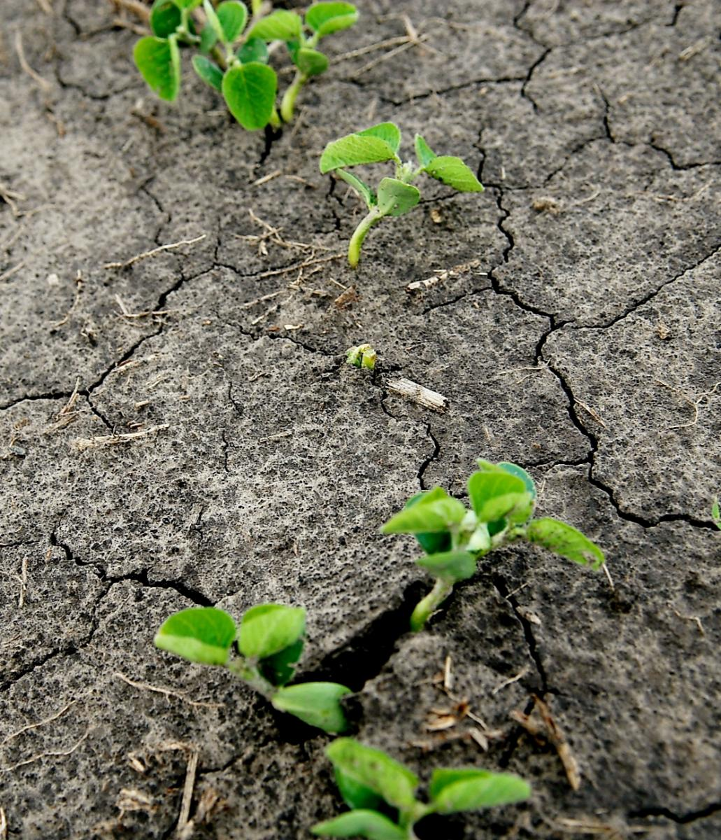 Soybean emerging in a field