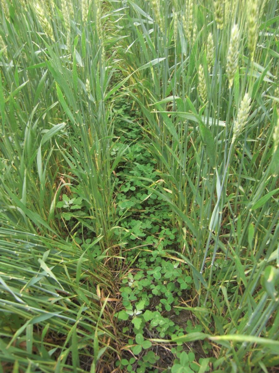 Winter wheat with undersown red clover in May