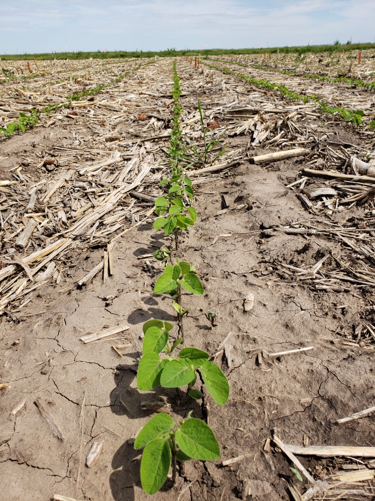 Emerged soybeans