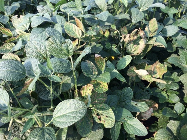 Sudden-death-syndrome-soybean