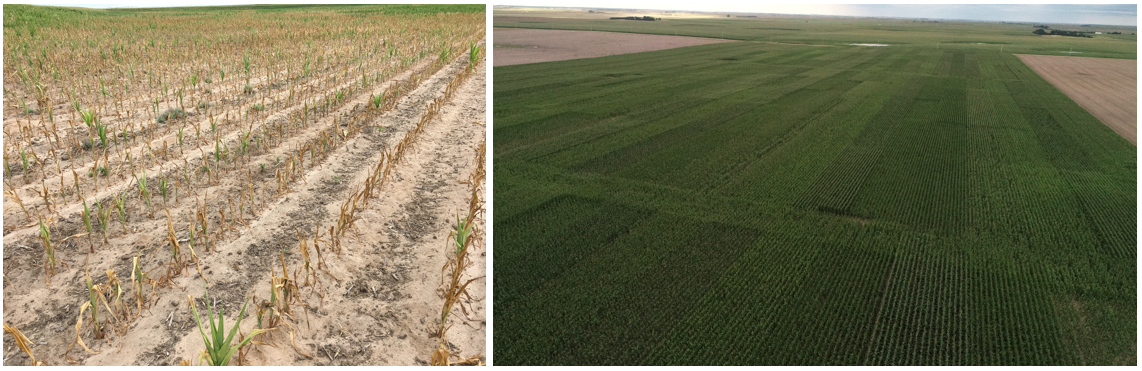 Field of early-planted corn that dried up, and Areal imagery of the study conducted in 2019