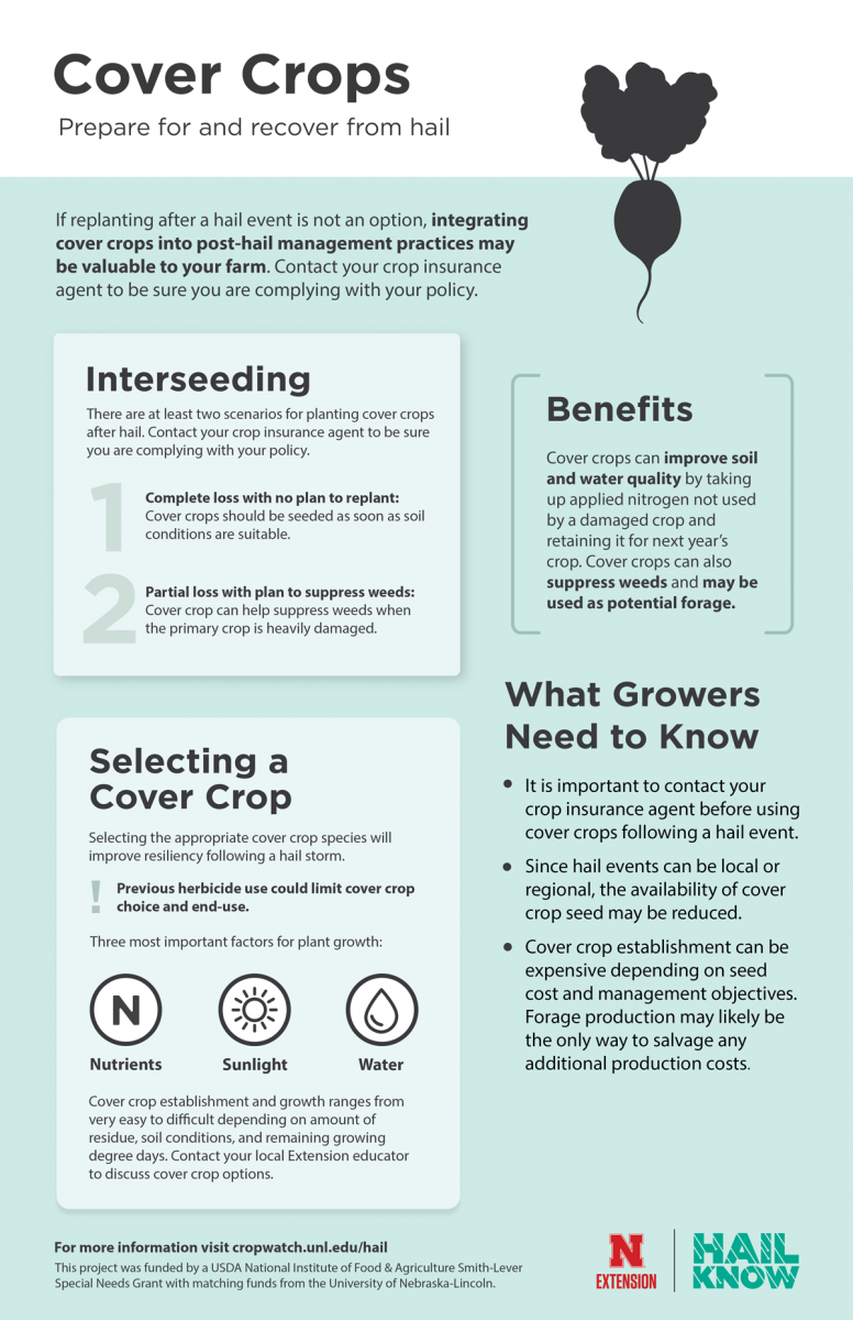 Inforgraphic on considerations for planting cover crops post crop hail damage