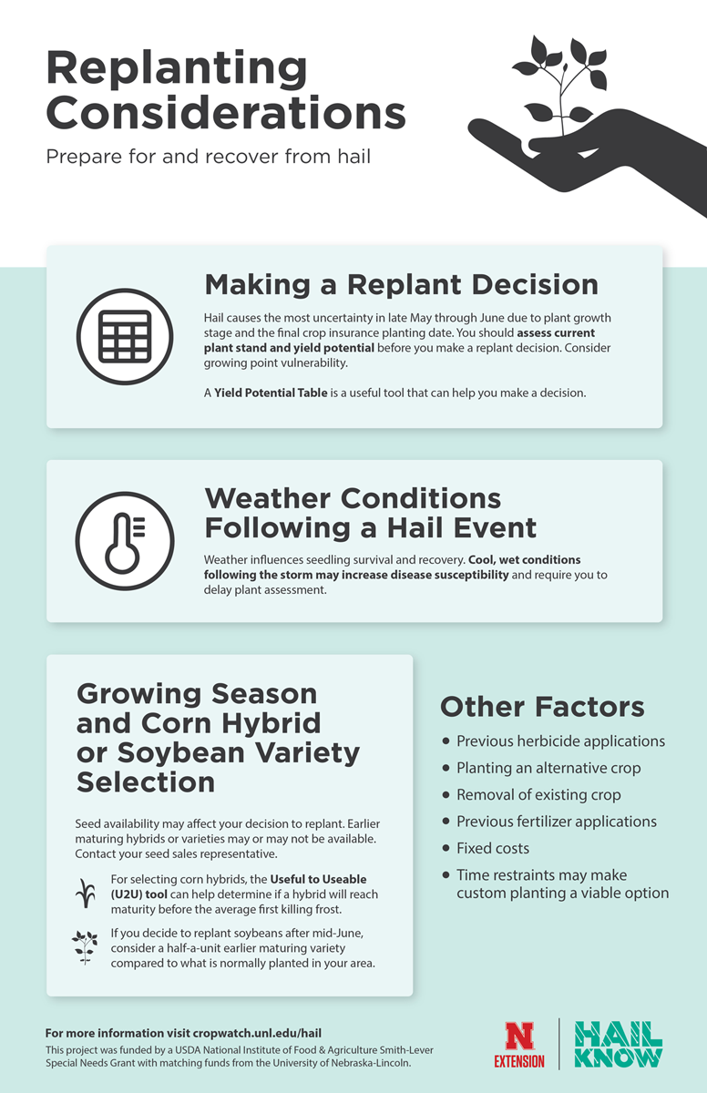 Inforgraphic illustrating post-hail replanting considerations