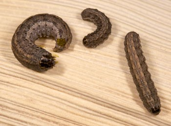 army cutworms