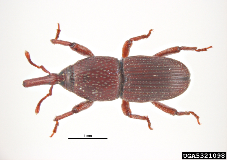 Adult granary weevil photo from bugwood.org