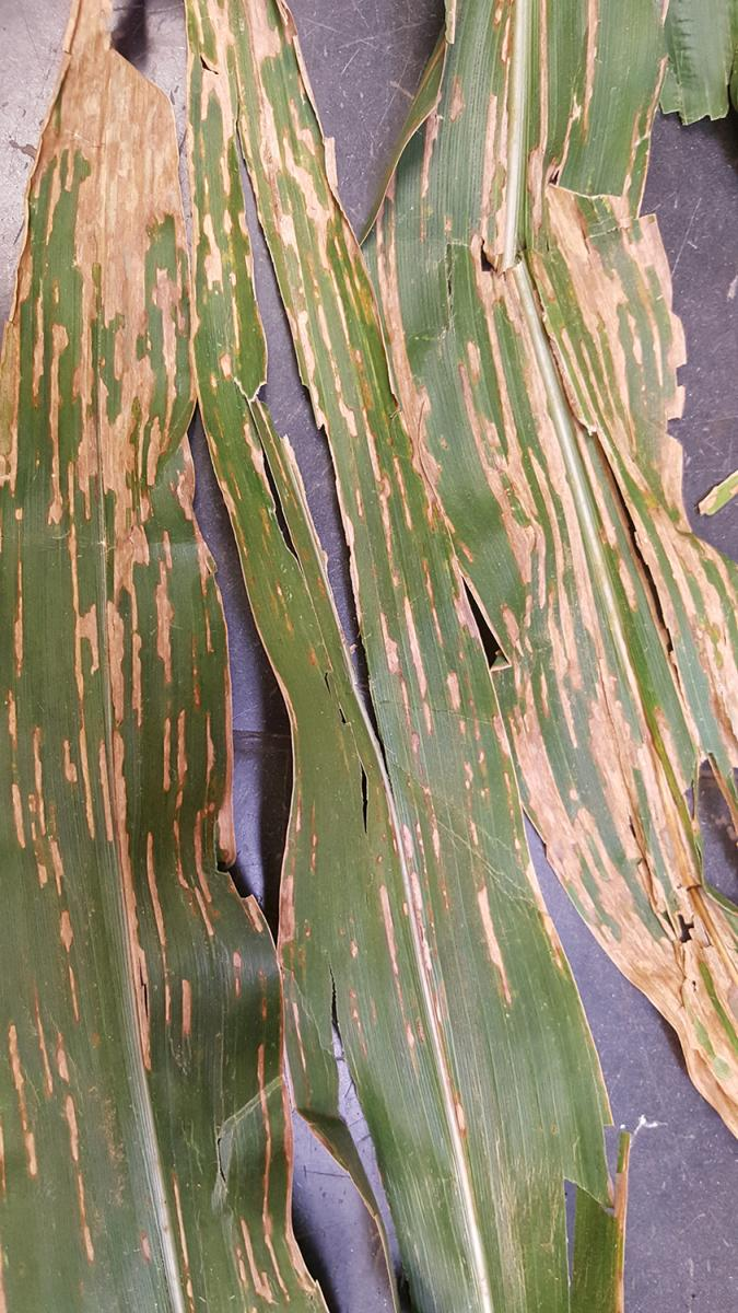 Mature bacterial leaf streak exhibiting typical wavy areas.