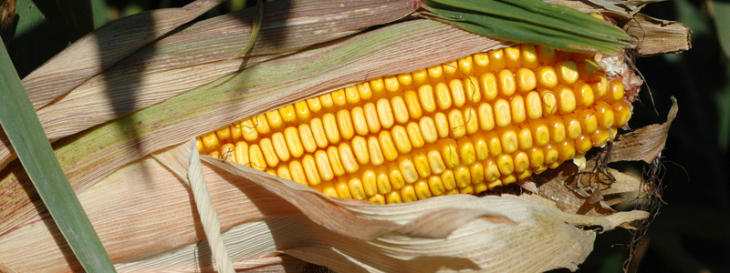 Close up of an ear of corn