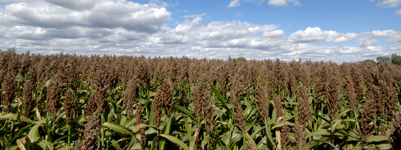 A field of sorghum