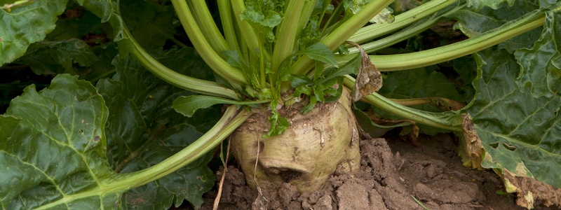 Sugarbeet growing in a field