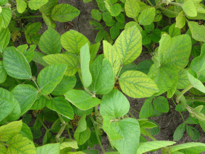 Manganese deficiency in soybean