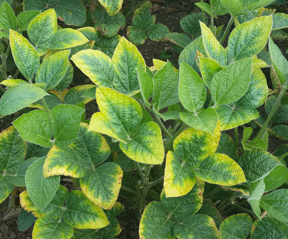 Potassium deficiency in soybean