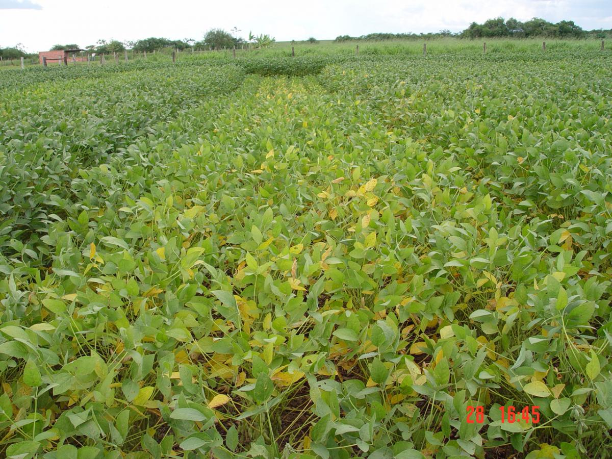 Soybean with sulfure defiency